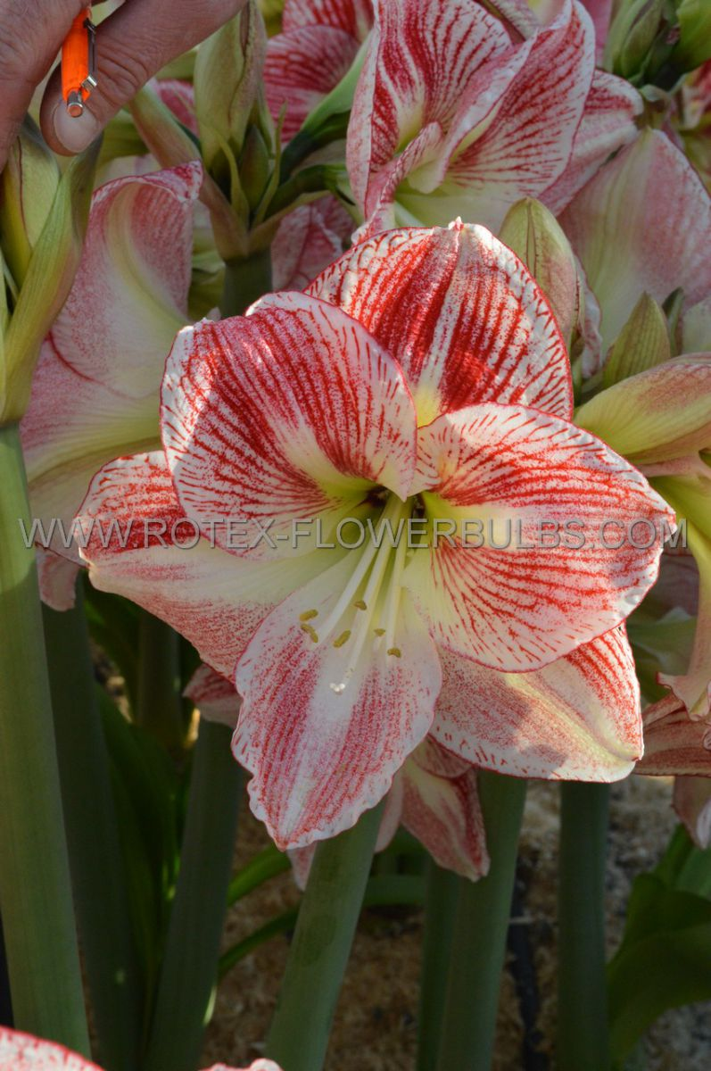 hippeastrum amaryllis unique large flowering candy cane 3436 cm 12 pwooden crate