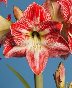 HIPPEASTRUM (AMARYLLIS UNIQUE) LARGE FLOWERING 'CANDY CANE' 34/36 CM. (6 P.OPEN TOP BOX)