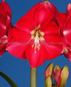 HIPPEASTRUM (AMARYLLIS UNIQUE) LARGE FLOWERING 'CANDY QUEEN' 34/36 CM. (12 P.WOODEN CRATE)