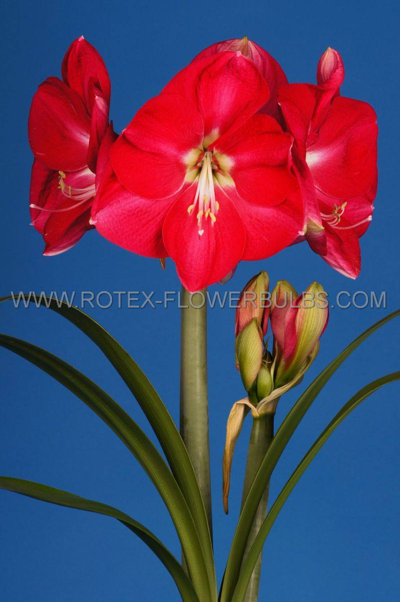 hippeastrum amaryllis unique large flowering candy queen 3436 cm 12 pwooden crate