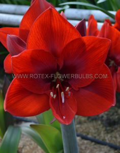HIPPEASTRUM (AMARYLLIS UNIQUE) LARGE FLOWERING 'CARMEN' 34/36 CM. (6 P.OPEN TOP BOX)
