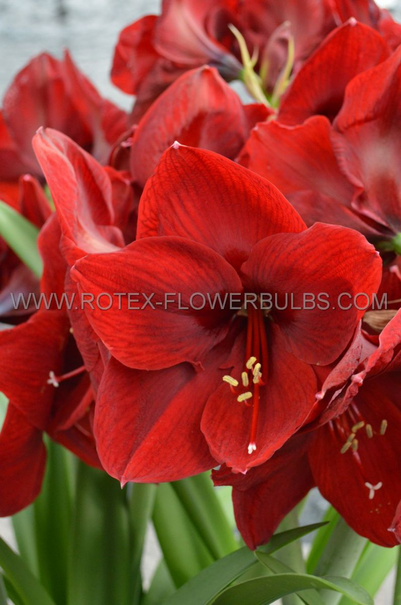 hippeastrum amaryllis unique large flowering carmen 3436 cm 6 popen top box