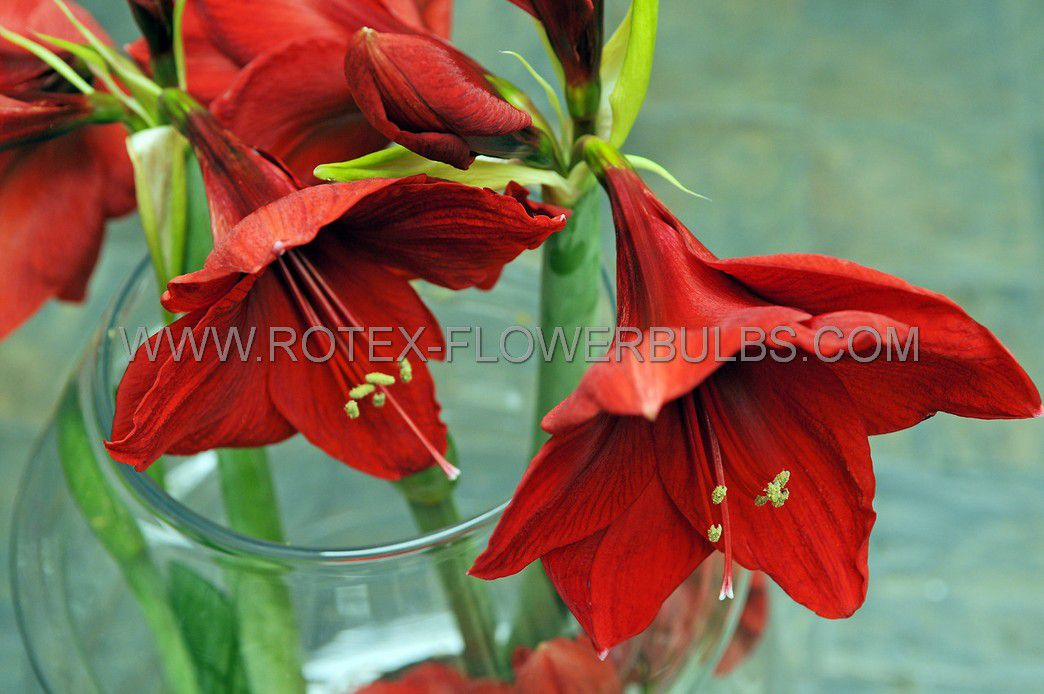 hippeastrum amaryllis unique large flowering carmen 3436 cm 12 pwooden crate