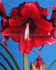 HIPPEASTRUM (AMARYLLIS UNIQUE) LARGE FLOWERING 'DAPHNE' 34/36 CM. (6 P.OPEN TOP BOX)