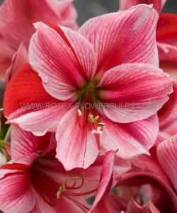 HIPPEASTRUM (AMARYLLIS UNIQUE) LARGE FLOWERING 'GERVASE' 34/36 CM. (6 P.OPEN TOP BOX)