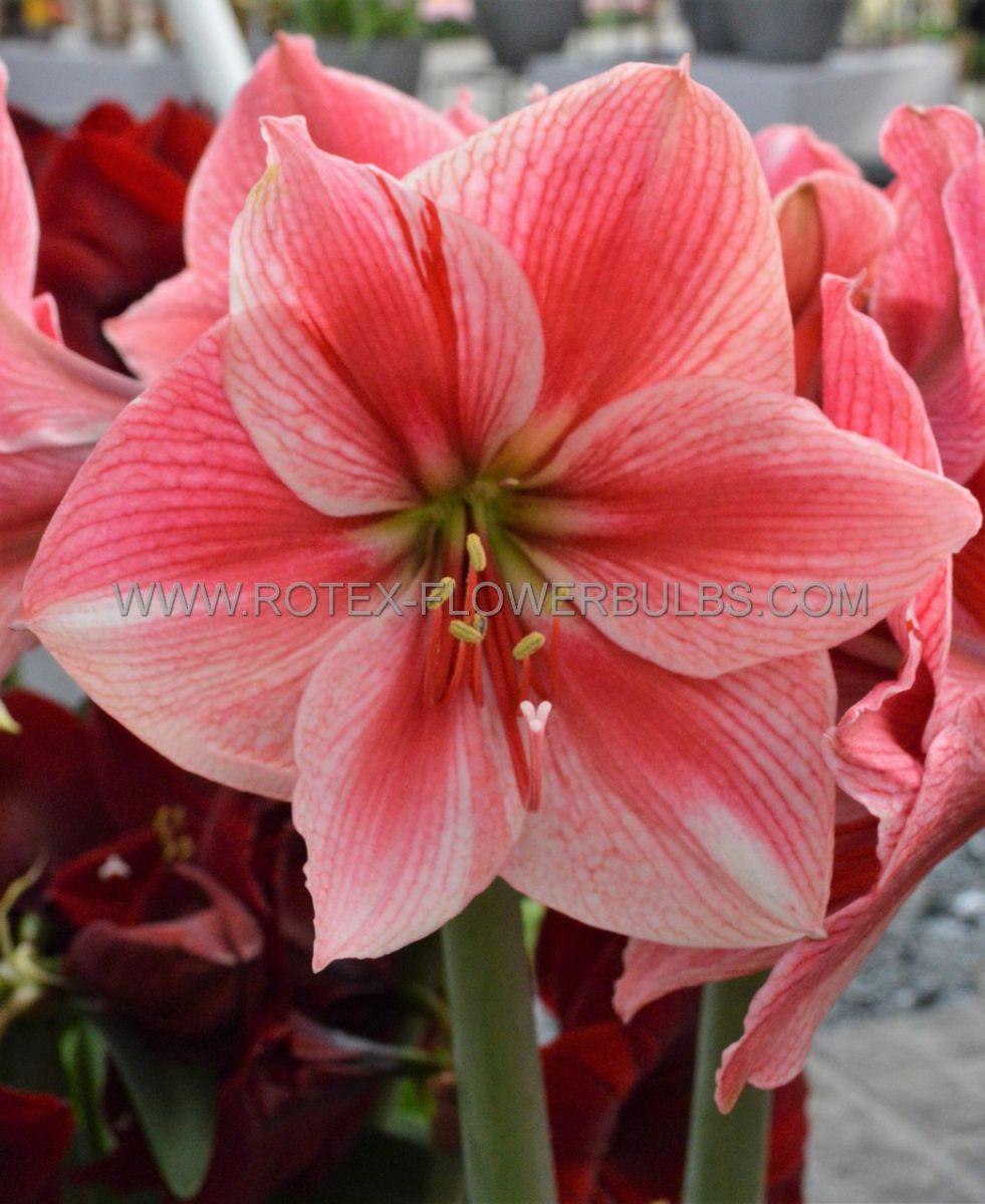 hippeastrum amaryllis unique large flowering gervase 3436 cm 30 pcarton
