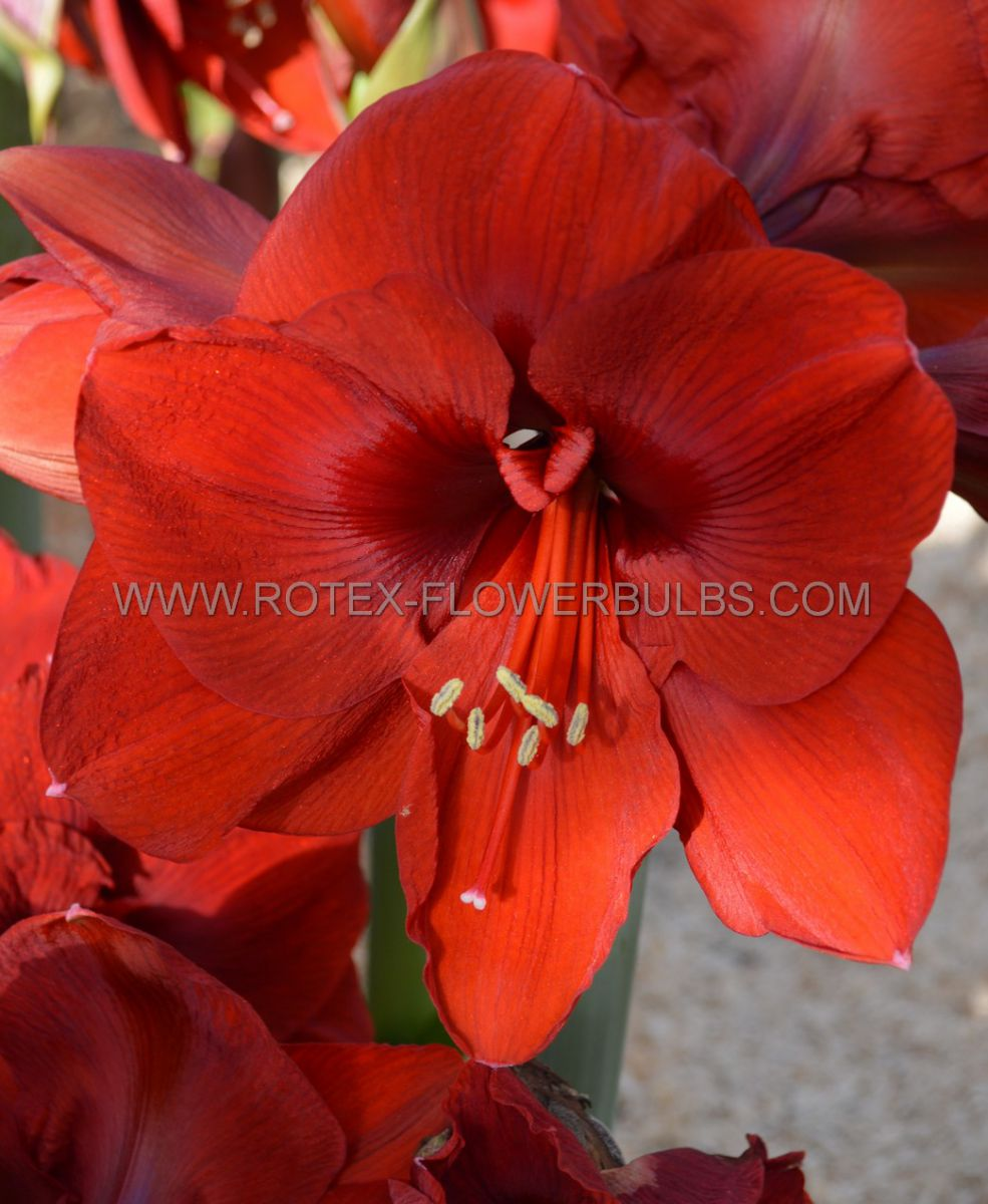 hippeastrum amaryllis unique large flowering grand cru 3436 cm 6 popen top box