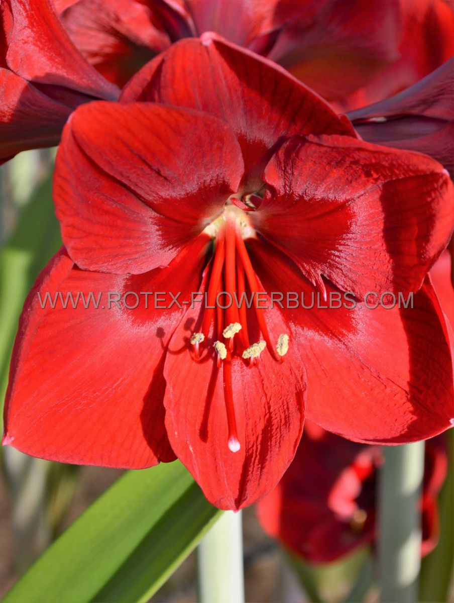 hippeastrum amaryllis unique large flowering grand diva 3436 cm 6 popen top box
