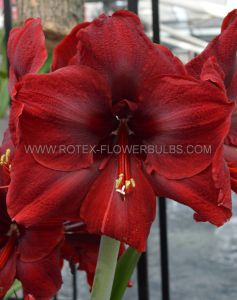 HIPPEASTRUM (AMARYLLIS UNIQUE) LARGE FLOWERING 'GRAND DIVA' 34/36 CM. (12 P.WOODEN CRATE)