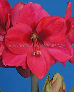 HIPPEASTRUM (AMARYLLIS UNIQUE) LARGE FLOWERING 'LAGOON' 34/36 CM. (12 P.WOODEN CRATE)