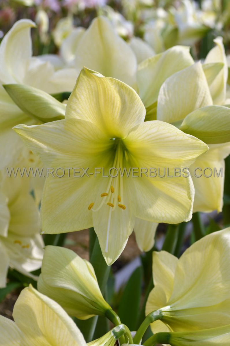 hippeastrum amaryllis unique large flowering lemon star 3436 cm 12 pwooden crate