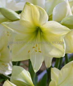 HIPPEASTRUM (AMARYLLIS UNIQUE) LARGE FLOWERING 'LEMON STAR' 34/36 CM. (12 P.WOODEN CRATE)