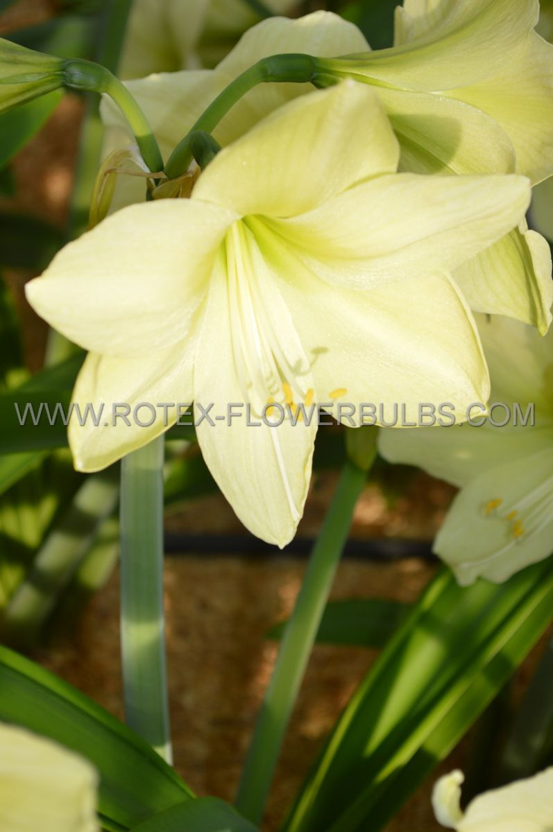 hippeastrum amaryllis unique large flowering luna 3436 cm 6 popen top box