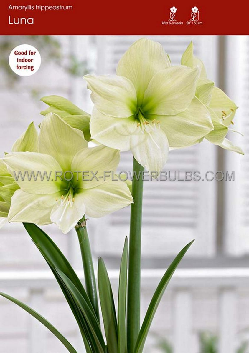 hippeastrum amaryllis unique large flowering luna 3436 cm 30 pcarton