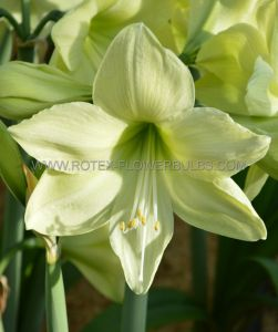 HIPPEASTRUM (AMARYLLIS UNIQUE) LARGE FLOWERING 'LUNA' 34/36 CM. (12 P.WOODEN CRATE)