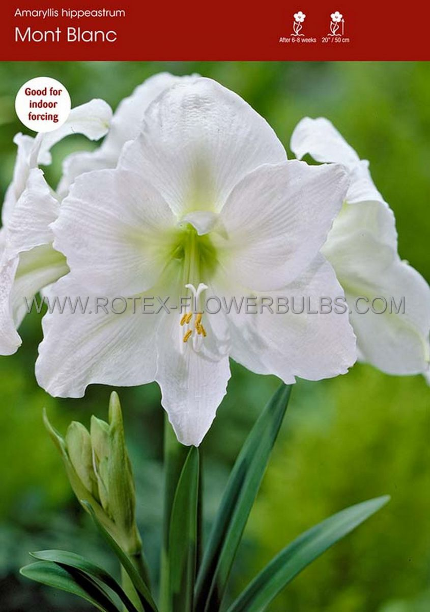 hippeastrum amaryllis unique large flowering mont blanc 3436 cm 6 popen top box