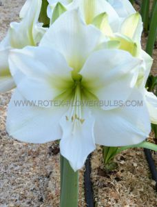 HIPPEASTRUM (AMARYLLIS UNIQUE) LARGE FLOWERING 'MONT BLANC' 34/36 CM. (12 P.WOODEN CRATE)