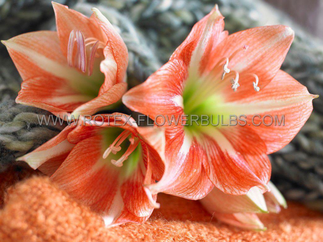 hippeastrum amaryllis unique large flowering nagano 3436 cm 6 popen top box