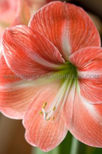HIPPEASTRUM (AMARYLLIS UNIQUE) LARGE FLOWERING 'NAGANO' 34/36 CM. (12 P.WOODEN CRATE)