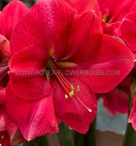 HIPPEASTRUM (AMARYLLIS UNIQUE) LARGE FLOWERING 'PLEASURE' 34/36 CM. (6 P.OPEN TOP BOX)
