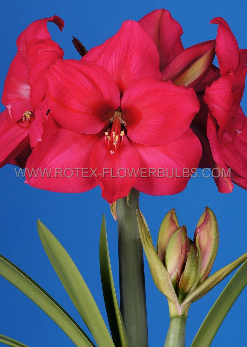 hippeastrum amaryllis unique large flowering pleasure 3436 cm 12 pwooden crate