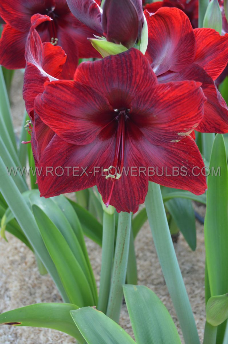 hippeastrum amaryllis unique large flowering red pearl 3436 cm 6 popen top box