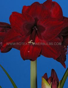 HIPPEASTRUM (AMARYLLIS UNIQUE) LARGE FLOWERING 'RED PEARL' 34/36 CM. (12 P.WOODEN CRATE)