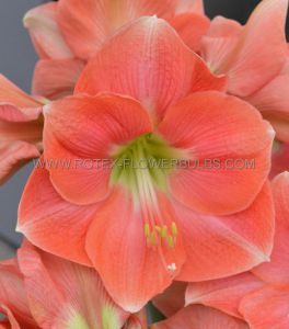 HIPPEASTRUM (AMARYLLIS UNIQUE) LARGE FLOWERING 'ROSALIE' 34/36 CM. (6 P.OPEN TOP BOX)