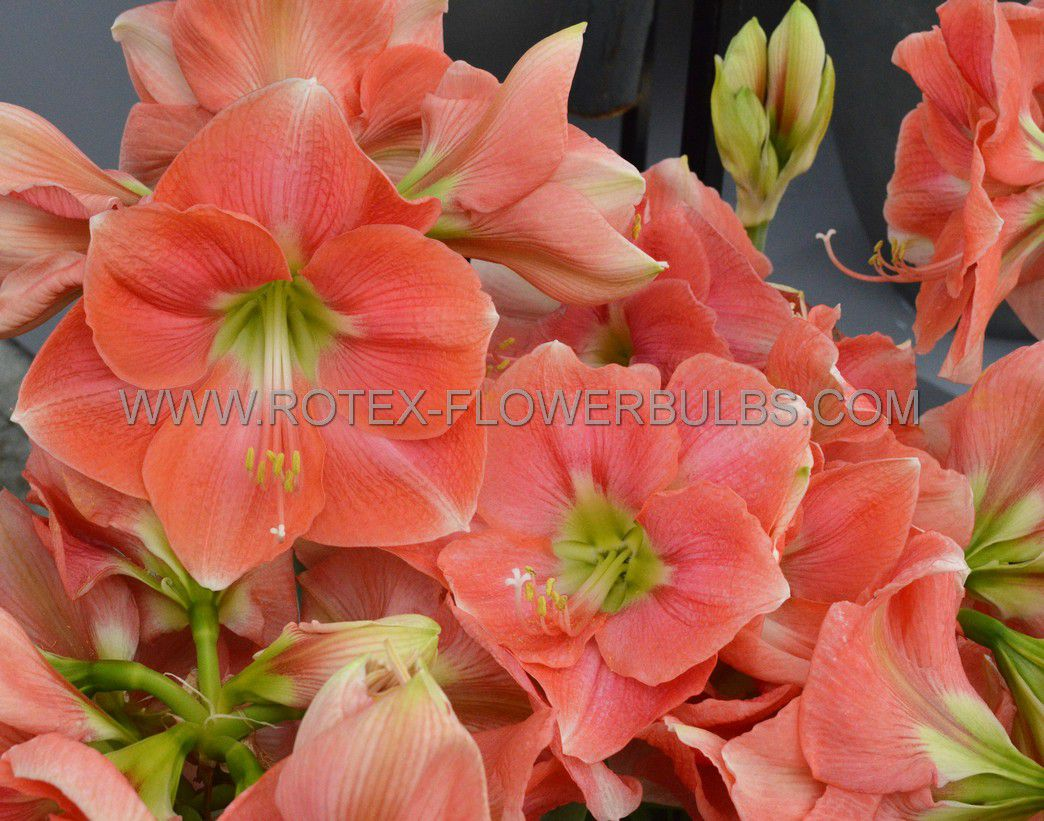 hippeastrum amaryllis unique large flowering rosalie 3436 cm 6 popen top box