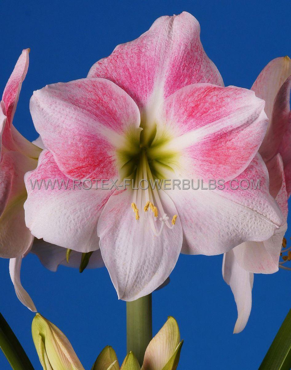 hippeastrum amaryllis unique large flowering rosy star 3436 cm 6 popen top box