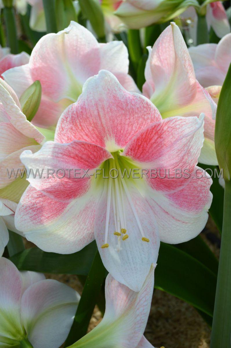hippeastrum amaryllis unique large flowering rosy star 3436 cm 12 pwooden crate