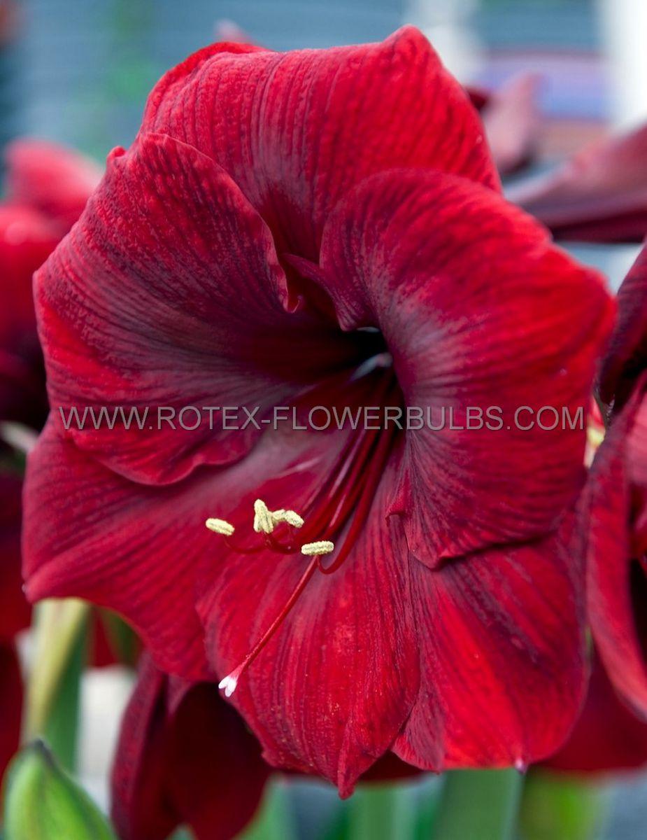 hippeastrum amaryllis unique large flowering royal velvet 3436 cm 6 popen top box
