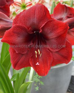 HIPPEASTRUM (AMARYLLIS UNIQUE) LARGE FLOWERING 'ROYAL VELVET' 34/36 CM. (6 P.OPEN TOP BOX)