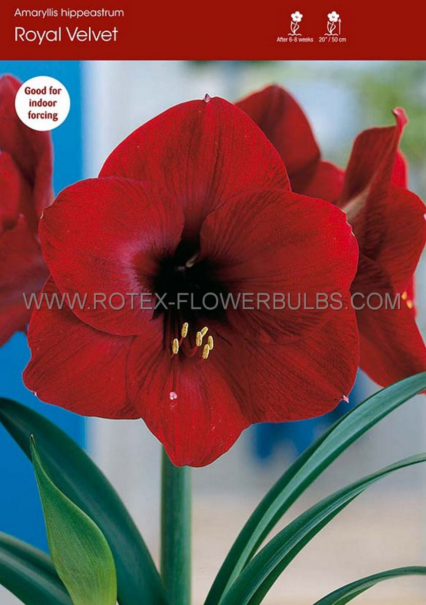 hippeastrum amaryllis unique large flowering royal velvet 3436 cm 30 pcarton