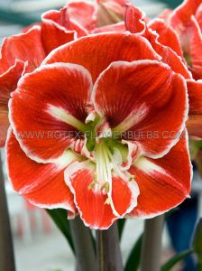HIPPEASTRUM (AMARYLLIS UNIQUE) LARGE FLOWERING 'SAMBA' 34/36 CM. (6 P.OPEN TOP BOX)