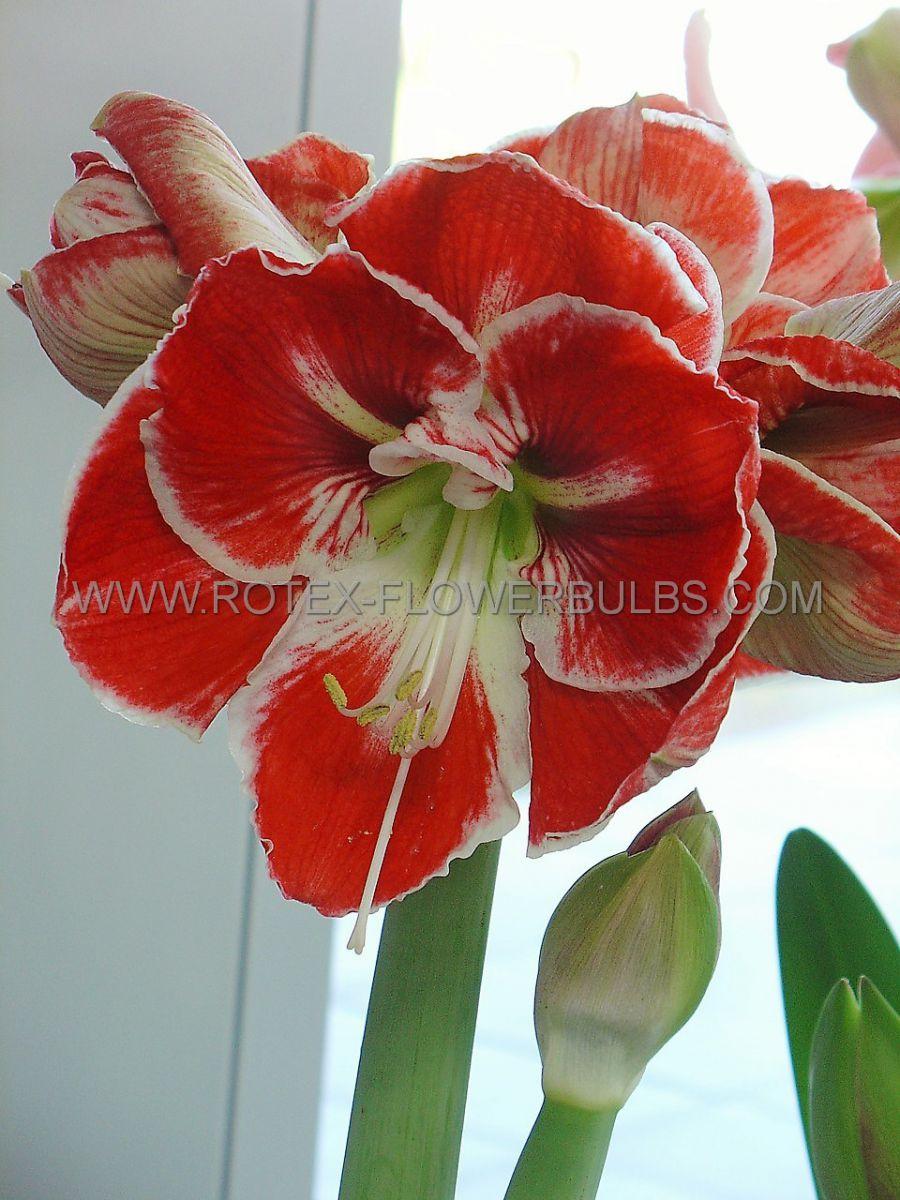 hippeastrum amaryllis unique large flowering samba 3436 cm 30 pcarton