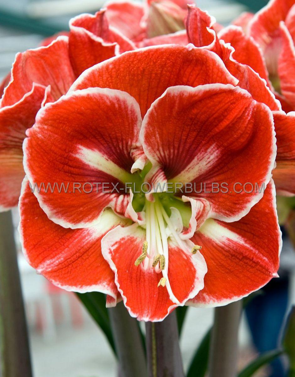 hippeastrum amaryllis unique large flowering samba 3436 cm 12 pwooden crate
