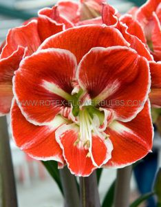 HIPPEASTRUM (AMARYLLIS UNIQUE) LARGE FLOWERING 'SAMBA' 34/36 CM. (12 P.WOODEN CRATE)