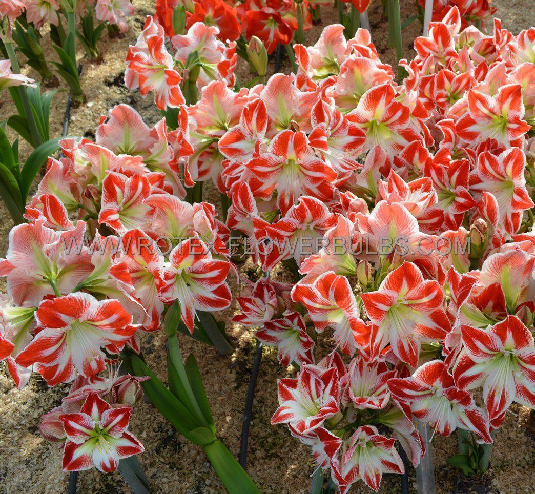 hippeastrum amaryllis unique large flowering spartacus 3436 cm 6 popen top box