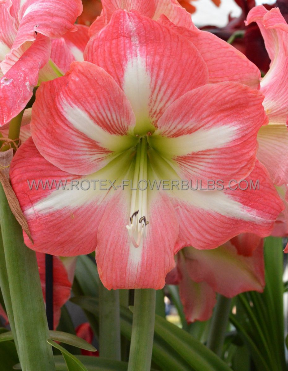 hippeastrum amaryllis unique large flowering strong king 3436 cm 30 pcarton