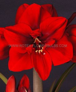 HIPPEASTRUM (AMARYLLIS UNIQUE) LARGE FLOWERING 'SUPER RED' 34/36 CM. (12 P.WOODEN CRATE)