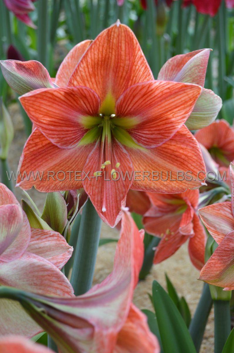 hippeastrum amaryllis unique large flowering terra cotta star 3436 cm 30 pcarton