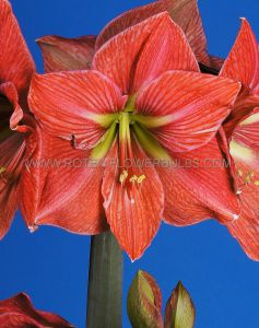 HIPPEASTRUM (AMARYLLIS UNIQUE) LARGE FLOWERING 'TERRA COTTA STAR' 34/36 CM. (12 P.WOODEN CRATE)