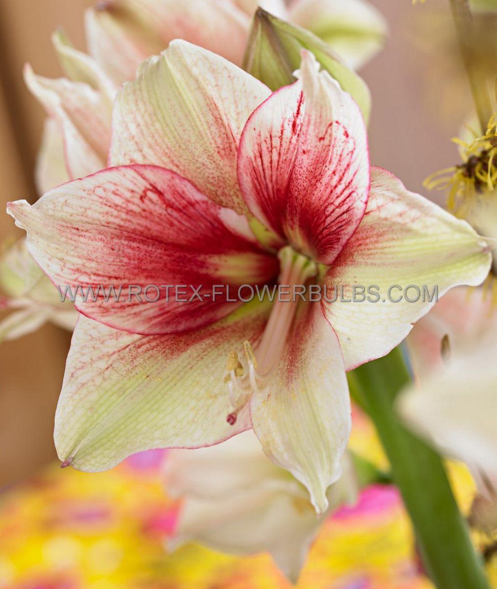 hippeastrum amaryllis unique large flowering tosca 3436 cm 6 popen top box