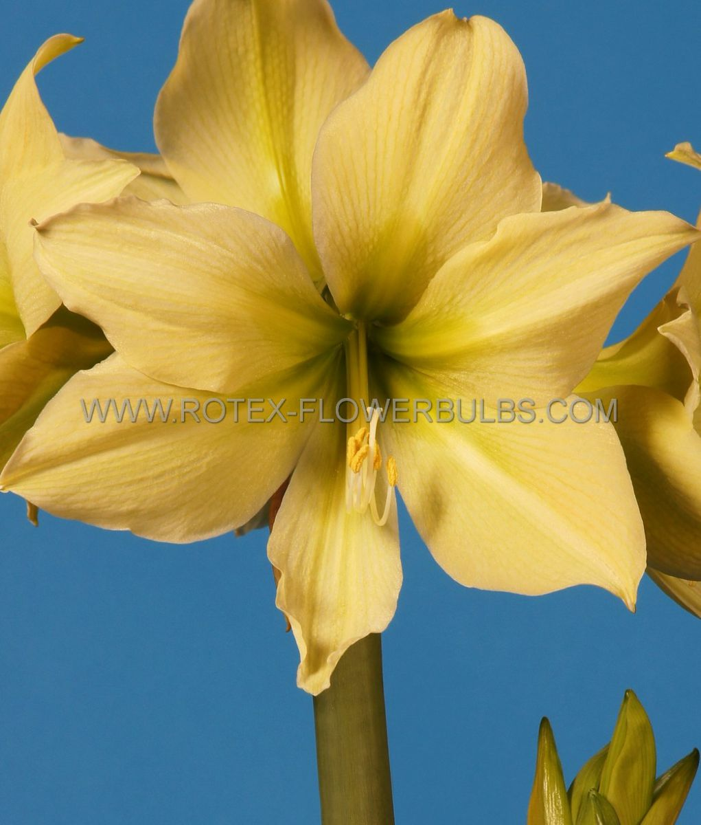 hippeastrum amaryllis unique large flowering yellow star 3436 cm 12 pwooden crate