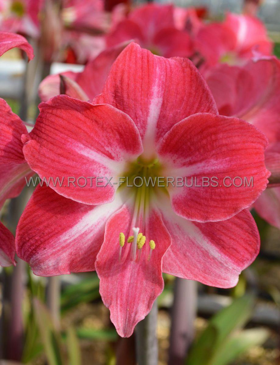 hippeastrum amaryllis unique midi neon 3436 cm 6 popen top box