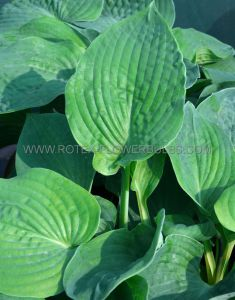HOSTA 'BRESSINGHAM BLUE' I (25 P.OPEN TOP BOX)