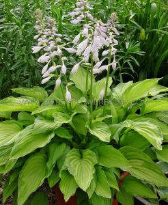 HOSTA FORTUNEI 'ALBOPICTA' I (25 P.OPEN TOP BOX)