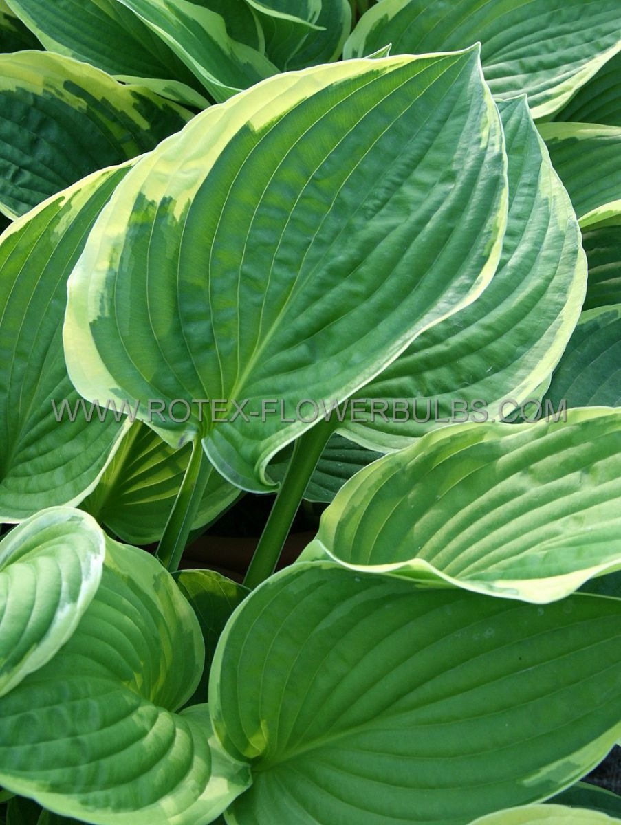 hosta fortunei aureomarginata i 25 popen top box