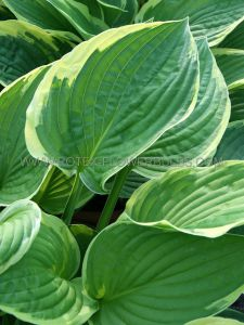 HOSTA FORTUNEI 'AUREOMARGINATA' I (25 P.OPEN TOP BOX)